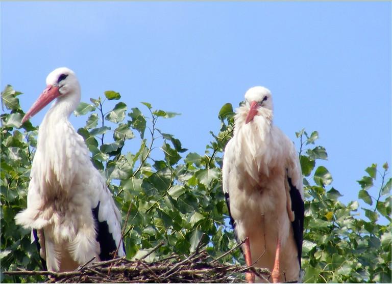 White storks at 't Zwin   © sophie / Flickr
