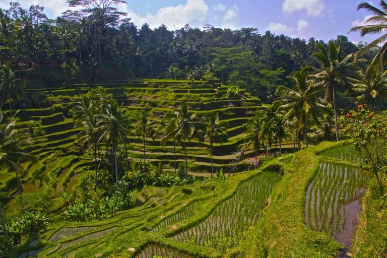 Rice paddy field in Ubud| © Aussie Assault / Flickr