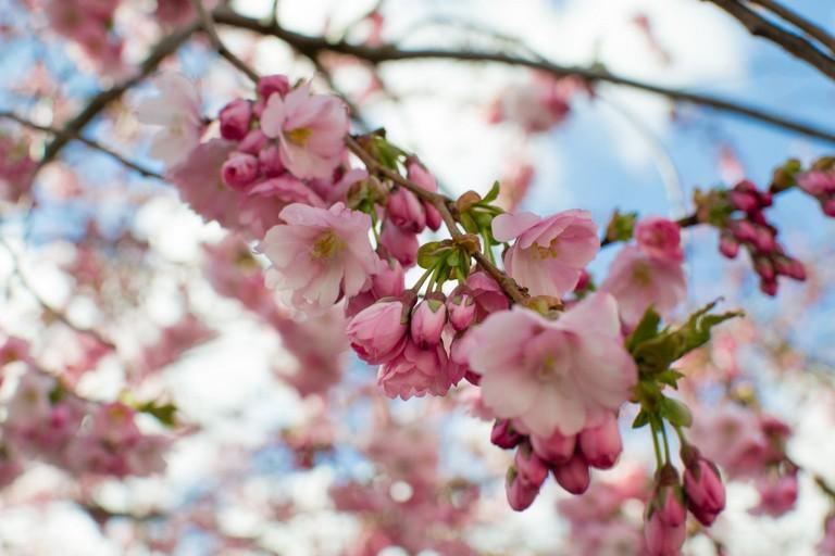 Cherry Blossoms © 2benny / Flickr