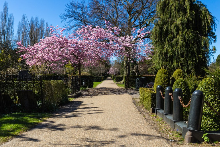 The cherry blossom trees at Assistens Cemetery