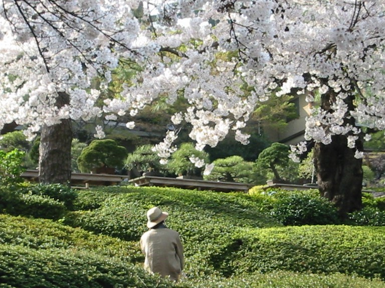 Admiring the sakura in Happo-en