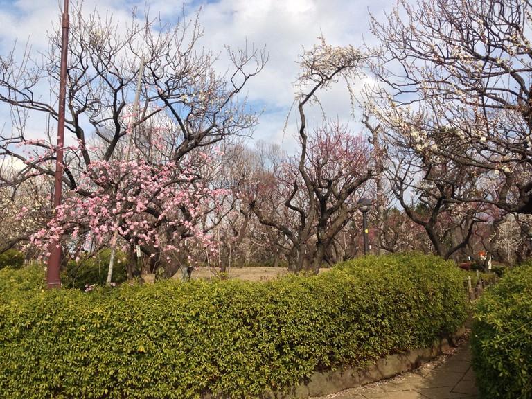Plum blossoms in Hanegi Park
