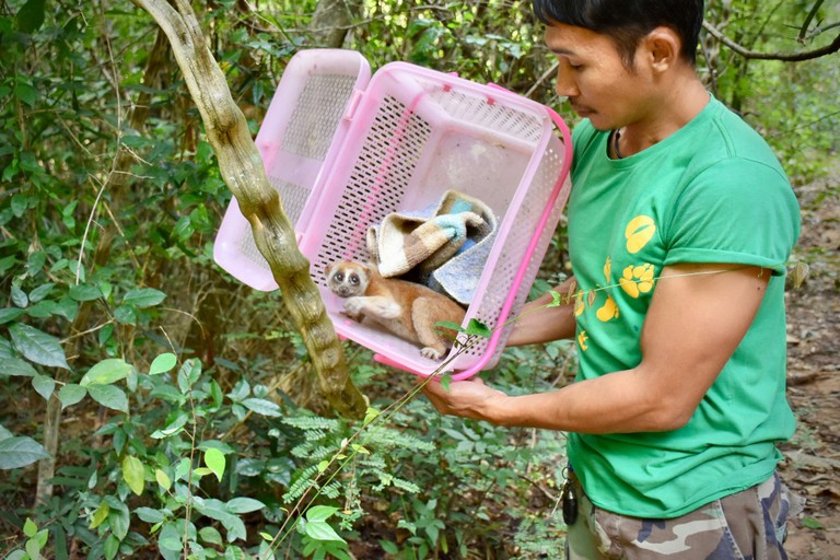 Rescued Bengal slow loris released back to the wild