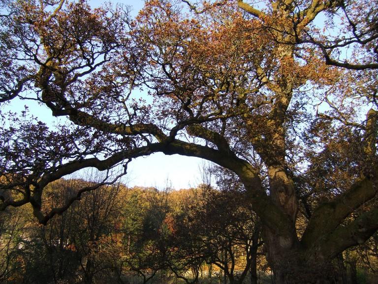 Birnam Oak | © William Marnoch/Flickr
