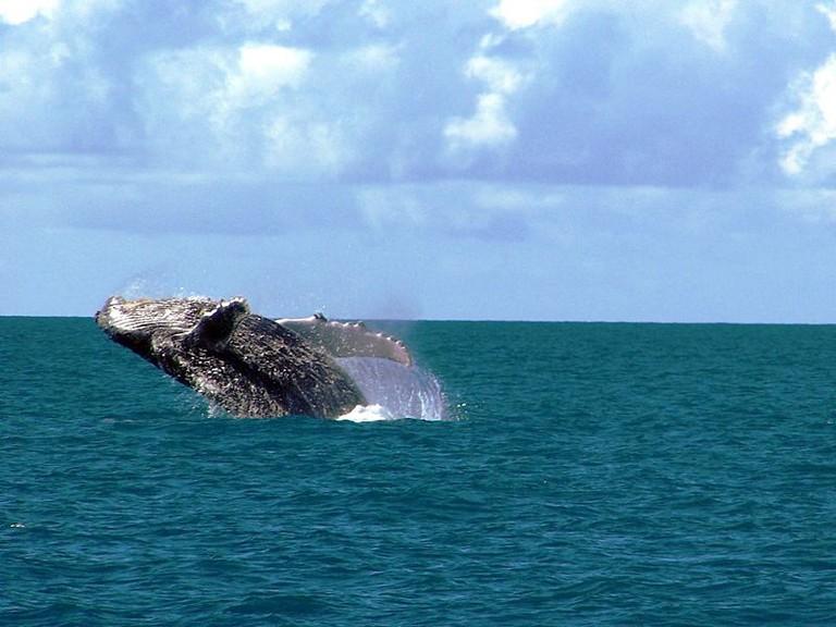 Whales in Porto Seguro / © Amnemona (Marina C. Vinhal) / Wikimedia Commons