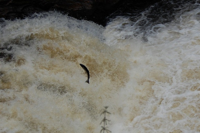 Leaping Salmon at Falls of Shin   © Matt Doughty/Flickr