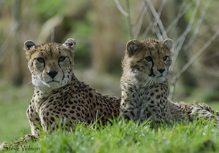 Cheetahs at Chester Zoo