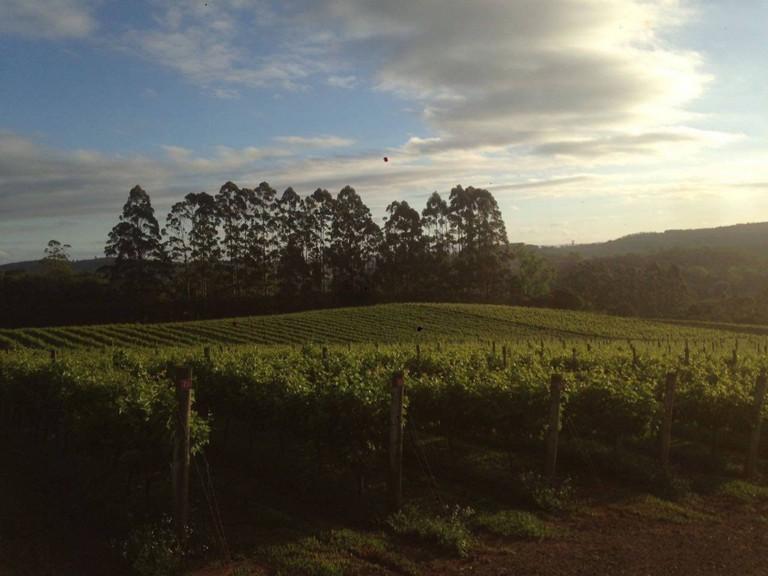 Grape Plantation São Roque © Vinicula Goes