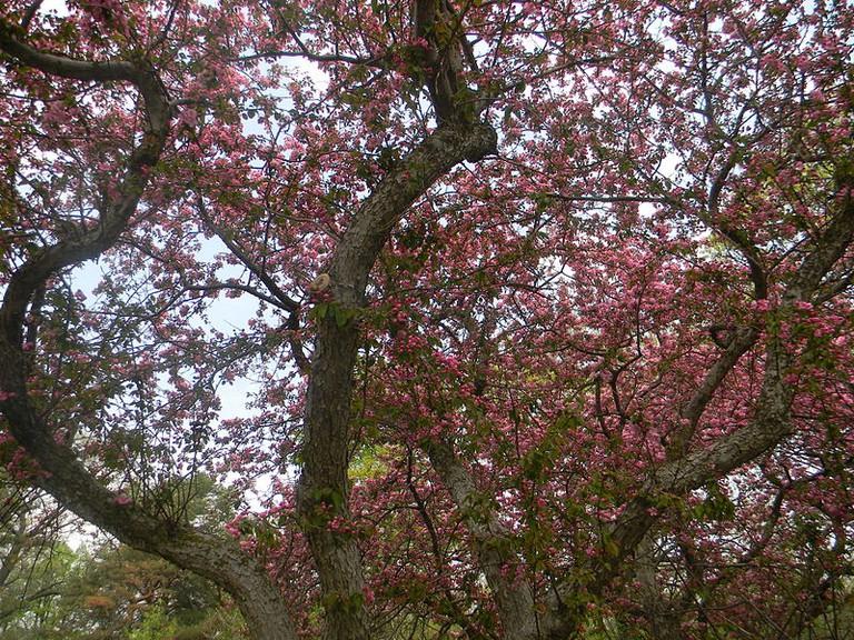 Sakura blossoms in High Park