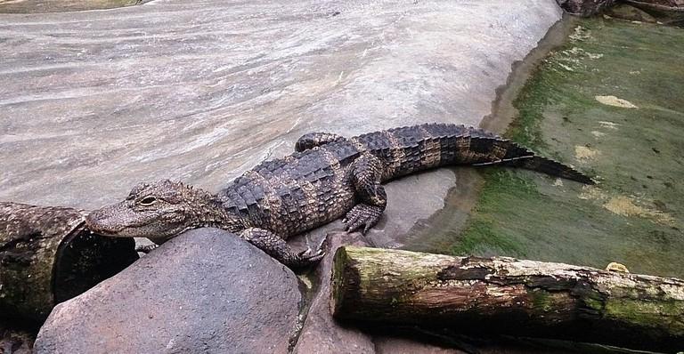 https://commons.wikimedia.org/wiki/File:Crocodile_at_river_safari.jpg