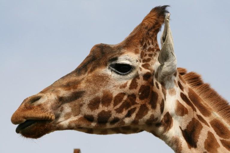 "<a href=""https://www.flickr.com/photos/sideshowmatt/5558925540"">Giraffe | © Matt Hance/Flickr</a>"