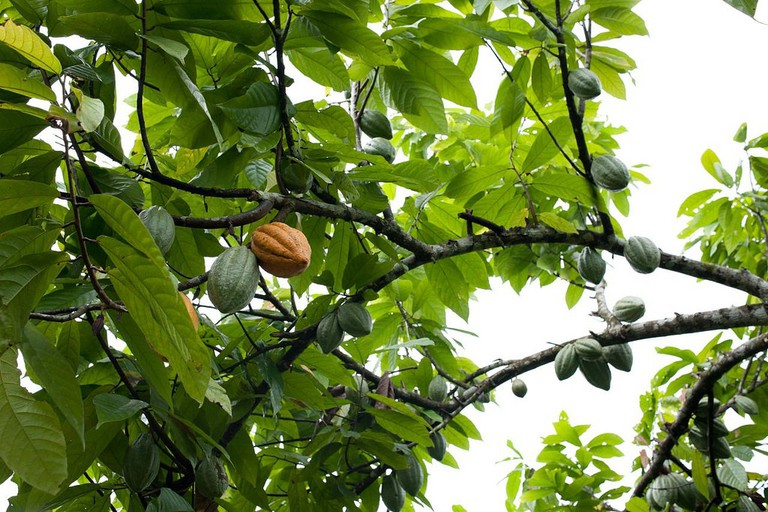 Where chocolate comes from| © Dennis Tang/Flickr