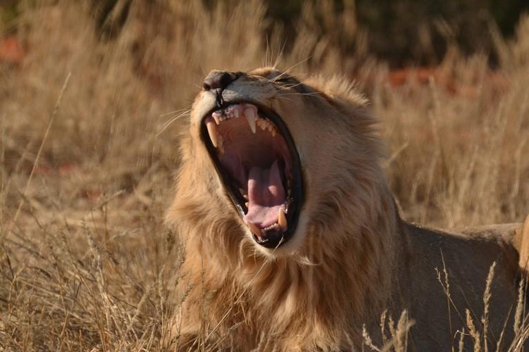 Lions are abundant in the Kgalagadi Transfrontier Park