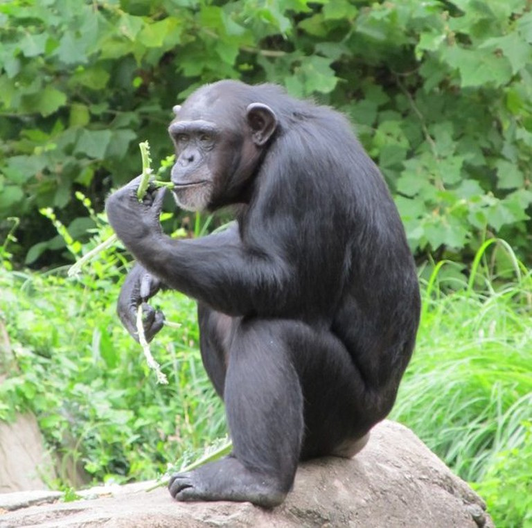 Chimpanzee. Credit: Skeeze/Pixabay