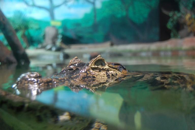 Alligator, São Paulo Aquarium