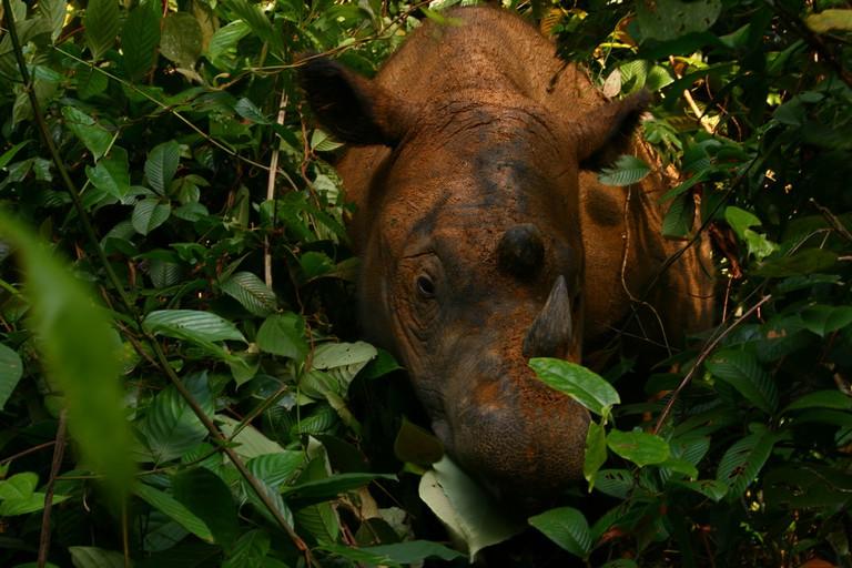 Rhinoceros at Way Kambas National Park
