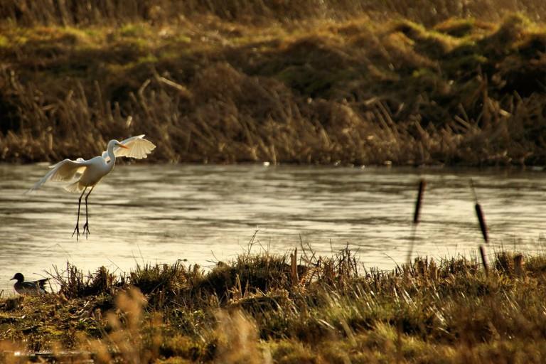 Great Egret, Rutland Water | © Airwolfhound/Flickr