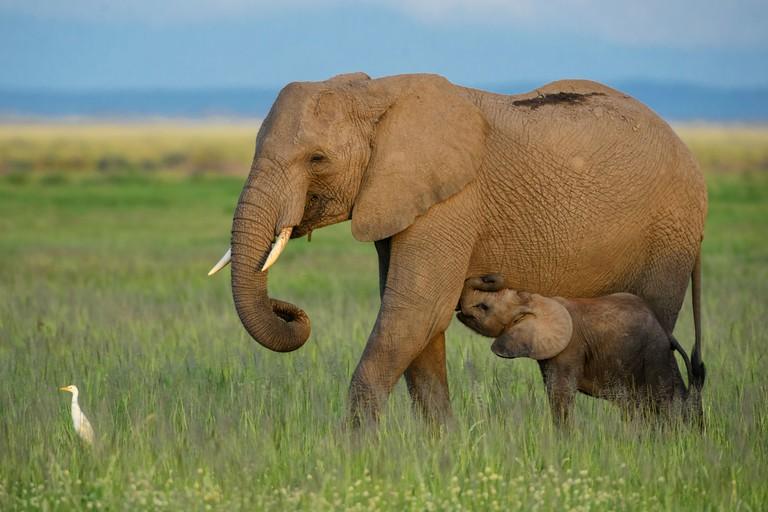 The elephant baby sucks milk - Africa.
