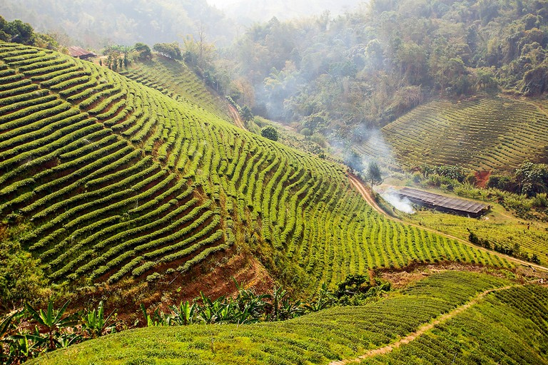 Tea plantation at Doi Mae Salong | © Atibordee Kongprepan / Flickr