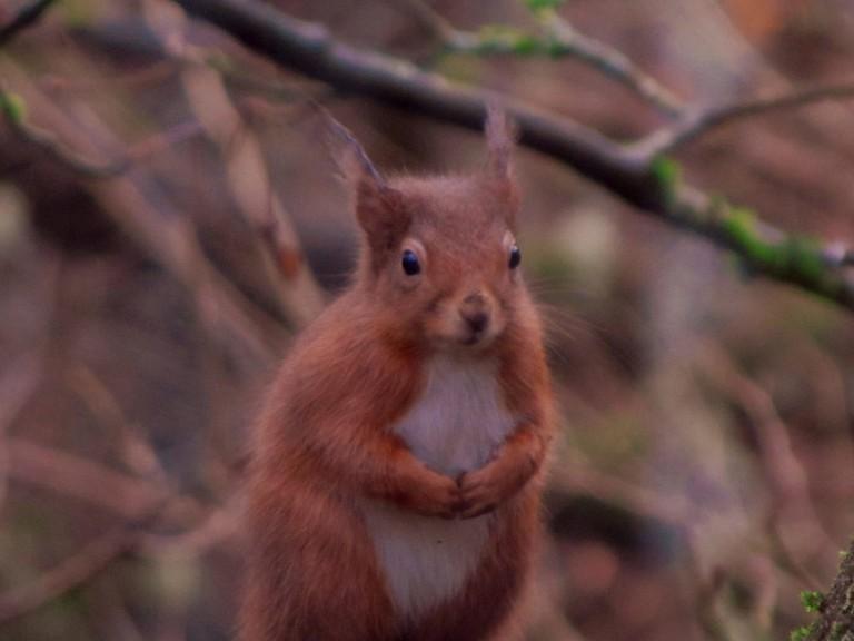 Red Squirrel, Killiecrankie