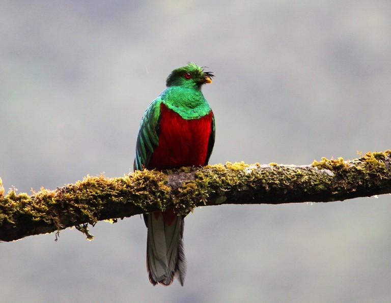 Crested Quetzal, Manu National Park, Amazon