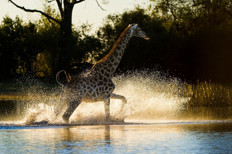 Giraffe in the Linyanti River