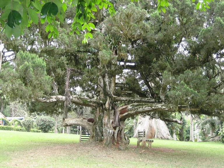Gregory the tree at Aburi