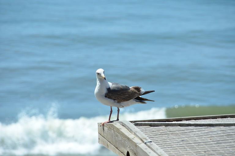 Seagull in Puerto Nuevo