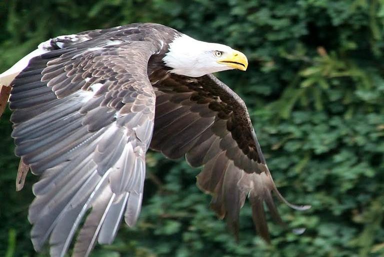 800px-Bald_eagle,_vogelpark_Steinen,_Germany