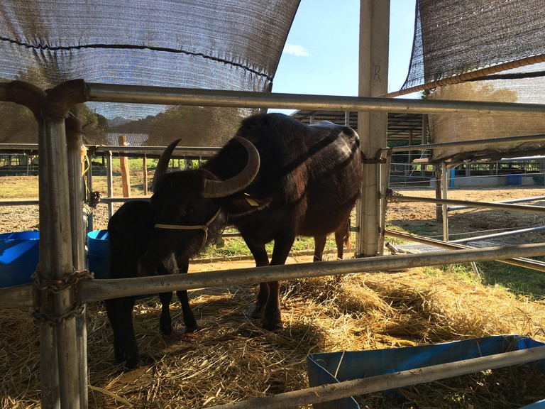 Laos Buffalo Dairy
