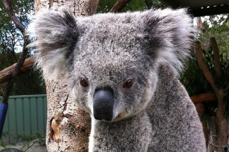 Koala at the Australia Walkabout Wildlife Park