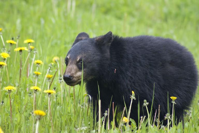 Black Bear, Canada