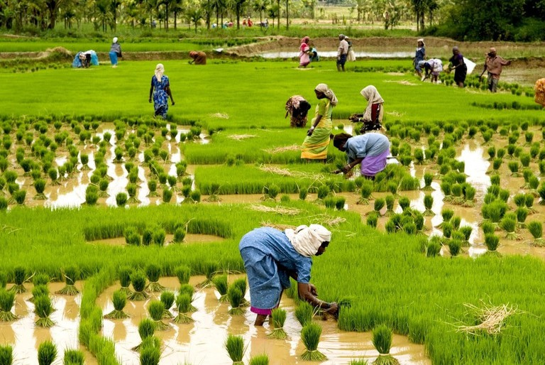 Farmers_engaged_in_rice_cultivation_