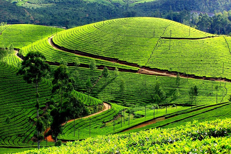 Pluck tea leaves at Munnar's emerald tea estates1024