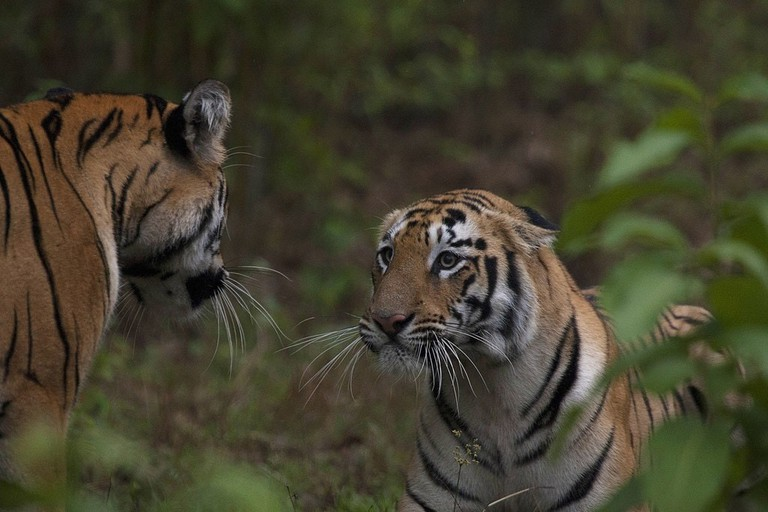 tiger_siblings_in_the_wild