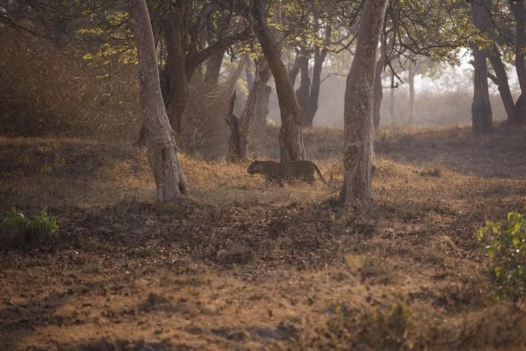 3.BNP_leopard_