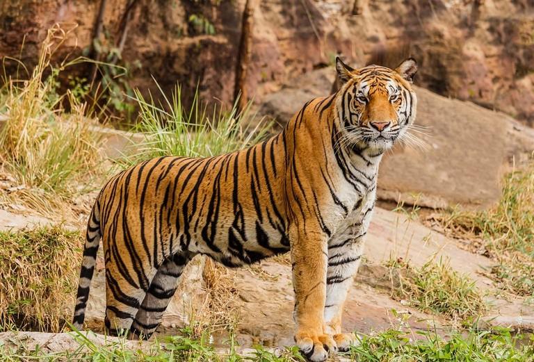 7.SWS_royal_bengal_tiger_