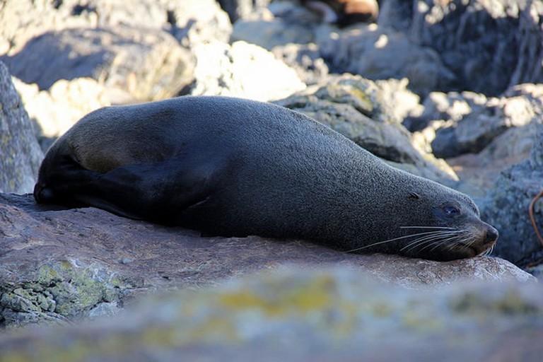 Fur Seal at Red Rocks