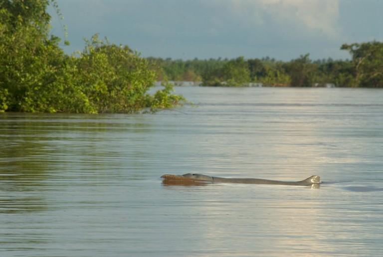 Irrawaddy_Dolphin