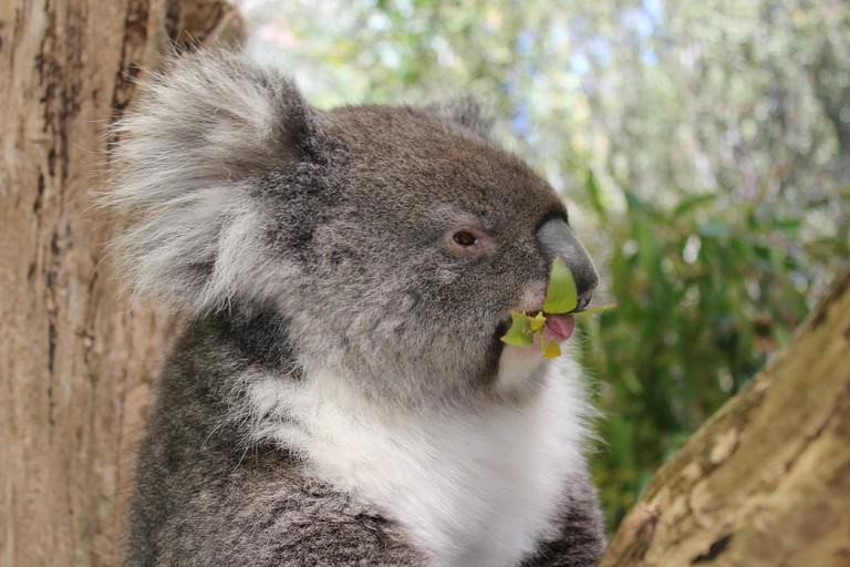 Koala at Cleland Wildlife Park   © NH53/Flickr