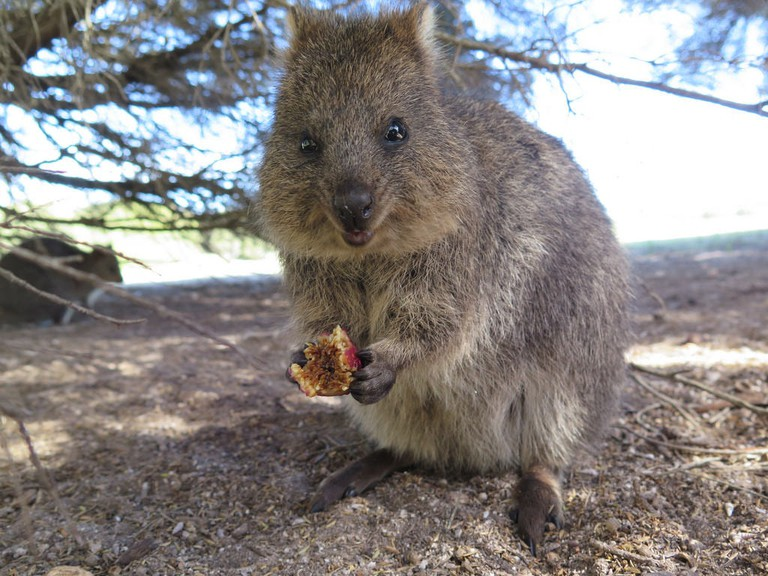 Quokka on Rottnest Island | © S Rohrlach/Flickr