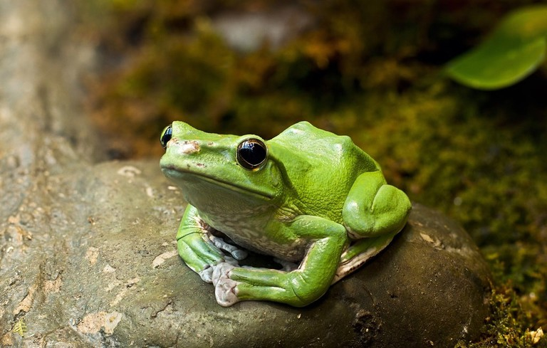 Discover species such as gliding frogs   Courtesy of Royal Botanical Gardens