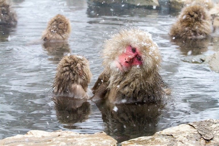 Macaques enjoying a bath in Yamanouchi, Japan