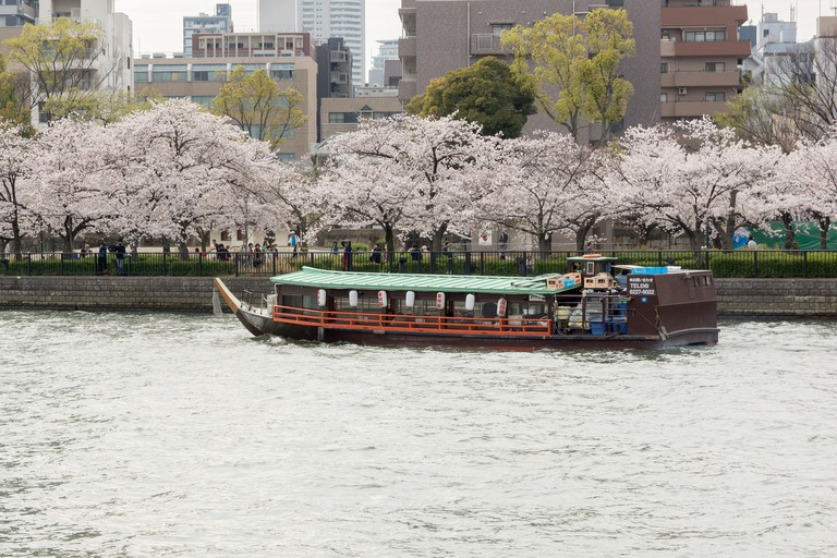sakura_cherry-blossom_sakuranomiya_park_osaka_japan