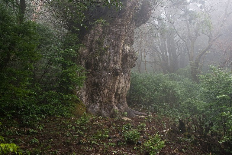 The ancient Jomonsugi has been standing for thousands of years