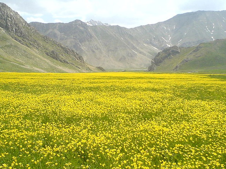 A bright yellow carpet of wild flowers at Lar National Park