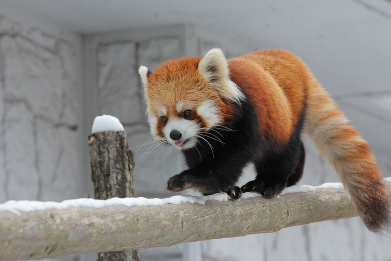 Red panda cubs walking on the snow
