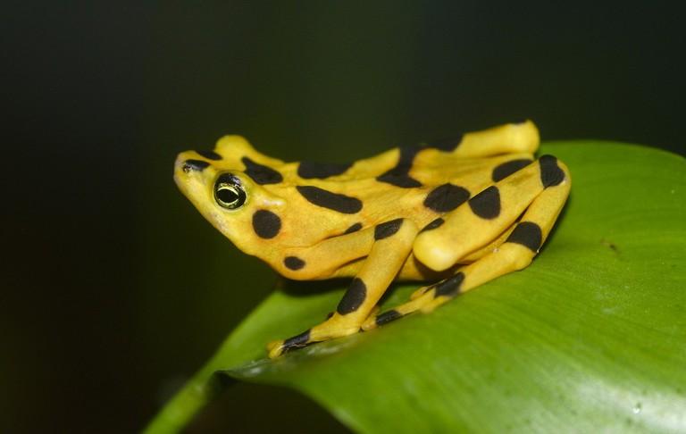 Panamanian Golden Frog (Rana Dorada)