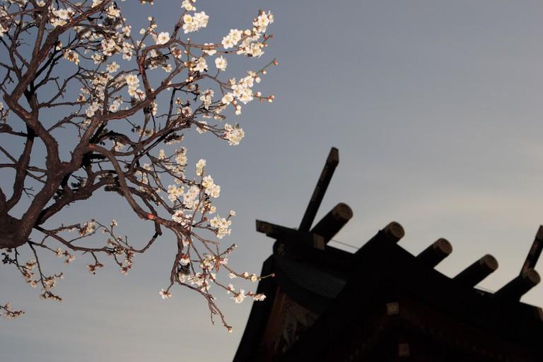 A view of plum blossoms at Yushima Tenjin