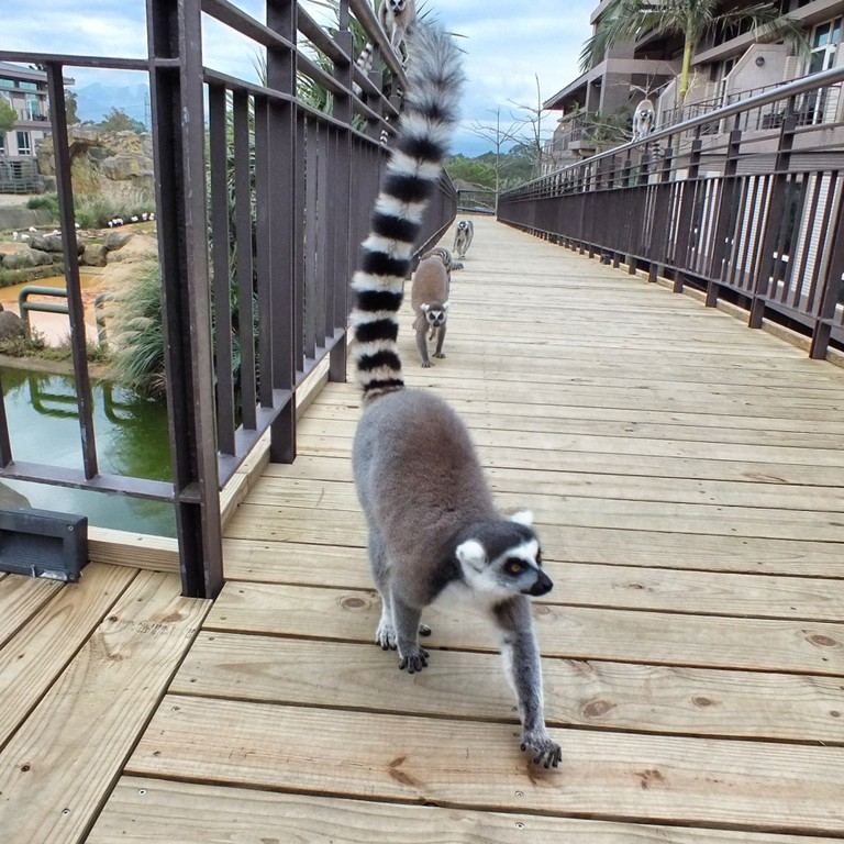 Lemurs at leofoo